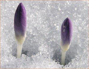 Un bouquet de mots en fleurs, pour 2011 ! dans Mes envies de dire, perce_neige-300x233