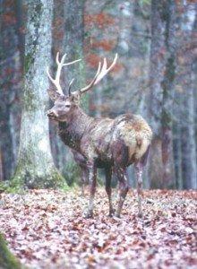 Les bois du cerf se meurent... à courre, à cor et à cri... dans Mes envies de dire, cerf_fc-220x300