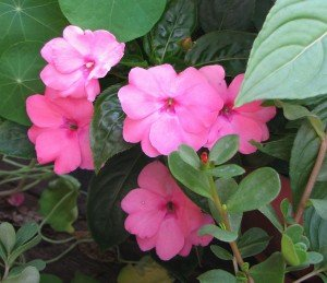 impatiens-new-guinea-5-300x259