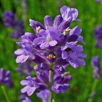 lavandula-angustifolia-lavande-