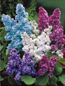 lilas_double_lilas_r00310666543_0