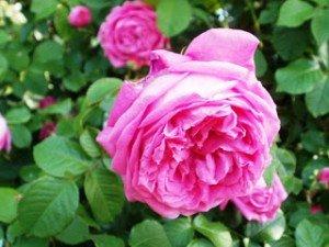 rose bulgarie