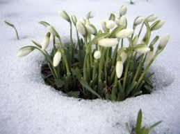 perce-neige